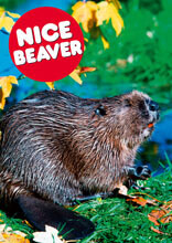 Nice Beaver Funny Valentines Card